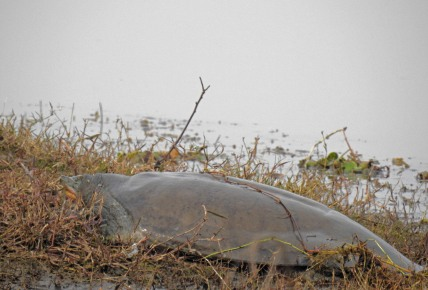 A basking Softshell turtle