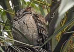 An Indian Scops Owl roosts in a palm tree.