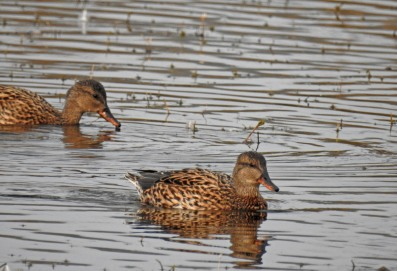 Gadwall females
