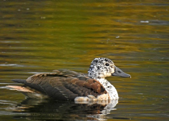 Comb duck, female