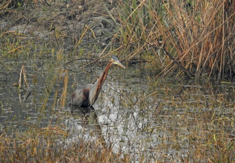 Purple Heron in habitat