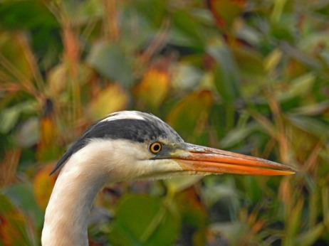 Grey Heron, portrait