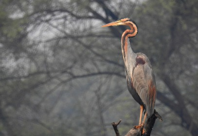 Purple Heron, posing
