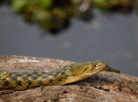 Portrait of a checkered keelback