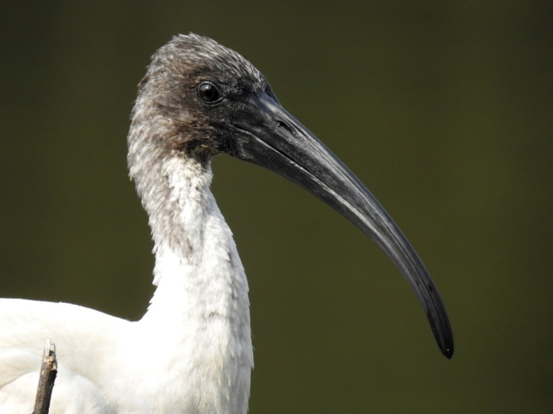 Portrait of a Black-headed ibis