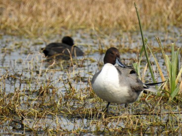 A handsome Northern Pintail female.