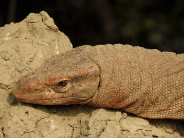 Portrait of a Indian Monitor Lizard