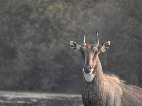 Portrait of a Male Nilgai