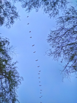 A line of Pelicans through the Bharatpur foliage.